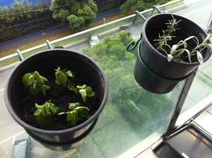 Mint, rosemary and sage cuttings